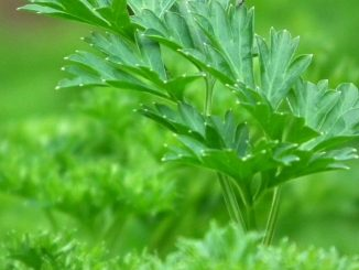 What Is A Good Parsley Substitute, Alternative And Replacement